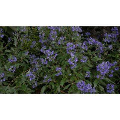 3 Gal. Beyond Midnight Bluebeard (Caryopteris) Live Shrub, Blue Flowers and Glossy Green Foliage
