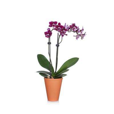 Purple 3 in. Rustic Orchid Plant in Terra Cotta Pot