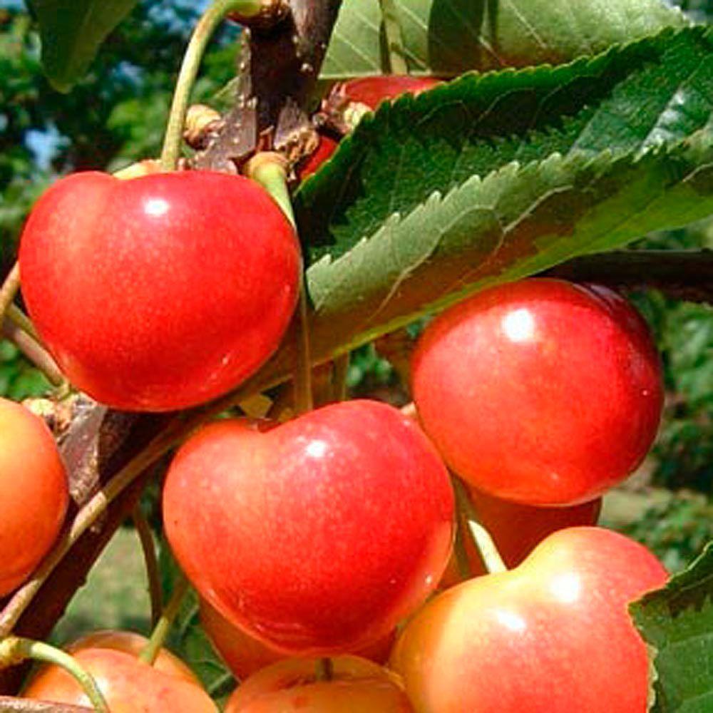 OnlinePlantCenter 5 gal. Rainier Cherry Fruit Tree