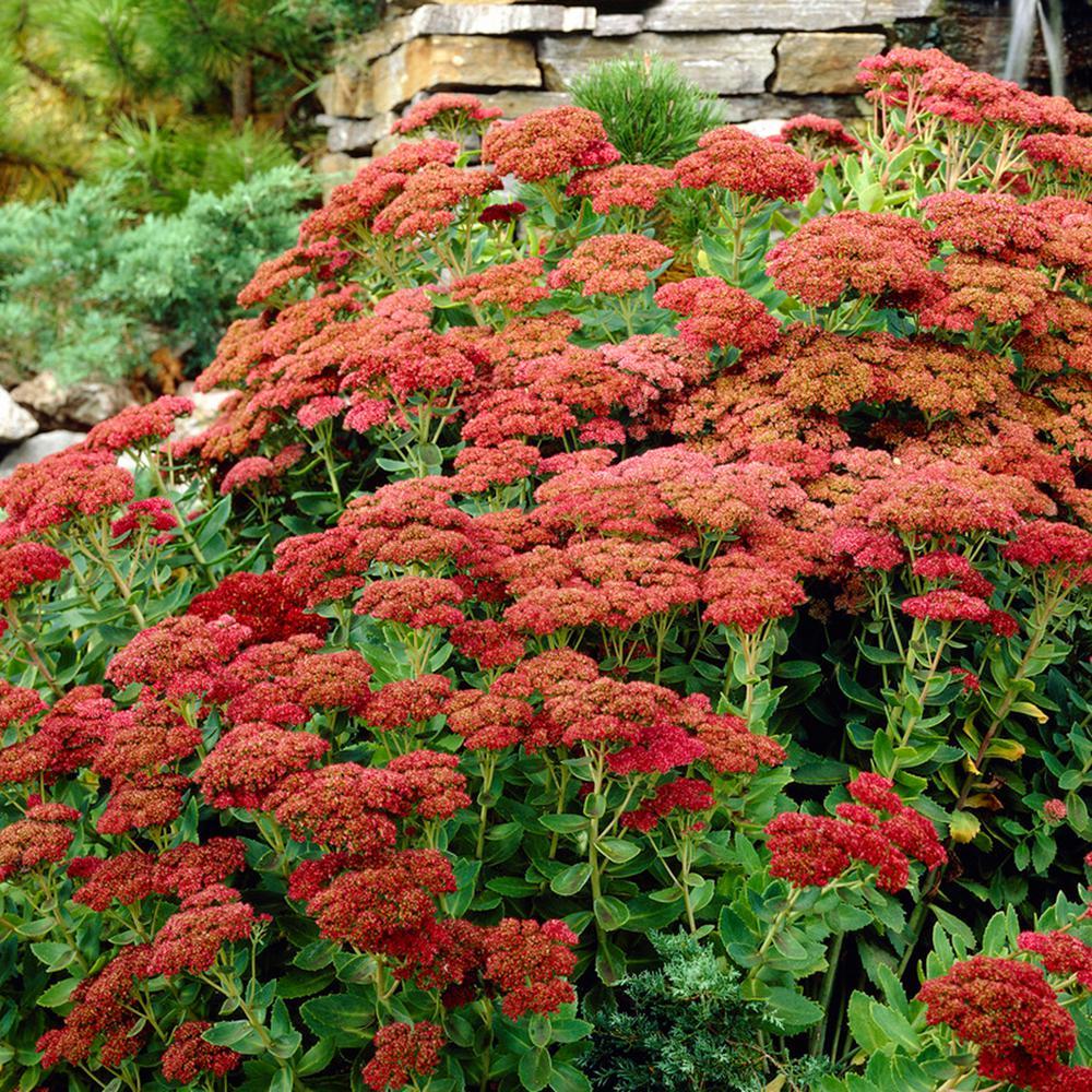 Garden Succulent Sedum Herbstfreude Roots (Set of 3)