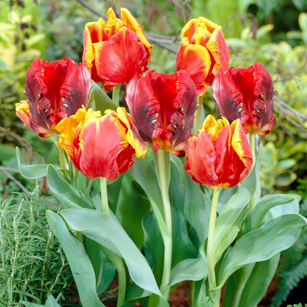 Martha Stewart Living Tulip Bright Parrot & Tulip Rococo Dormant Bulbs (48-Pack)