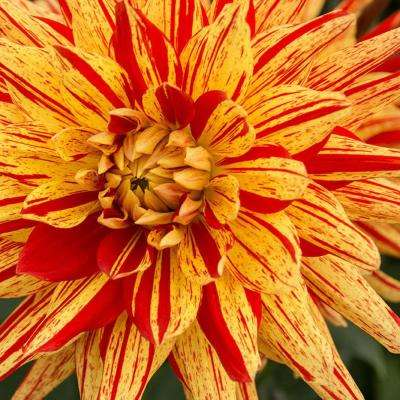 Lisonette Dahlia Bulbs (3-Pack)
