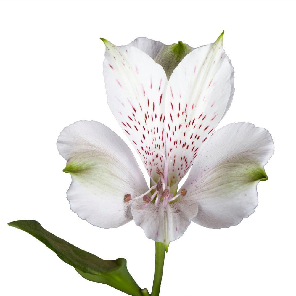 Fresh White Alstroemeria Flowers (80 Stems - 320 Blooms)