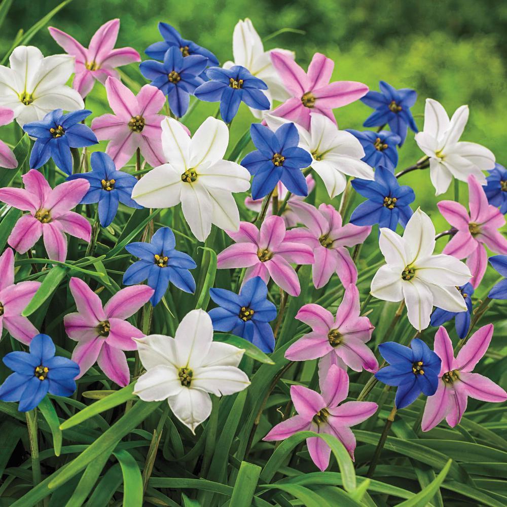 Spring Starflowers Ipheion Bulbs Mixture 25 Pack 00091 The Home