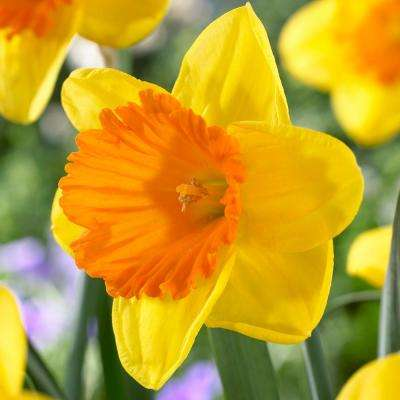 Daffodils Bulbs Akita (Set of 12)