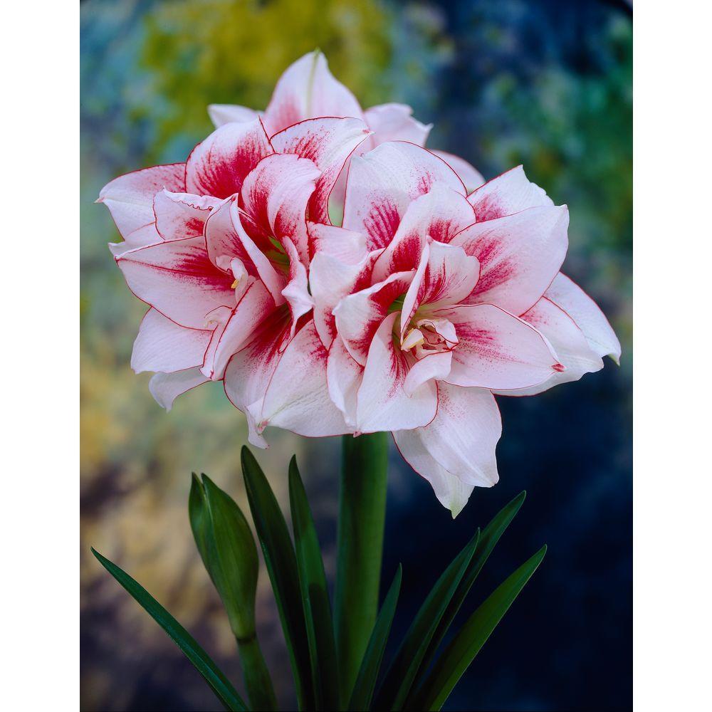 Fall To Winter Flower Bulbs Garden Plants Flowers The Home Depot