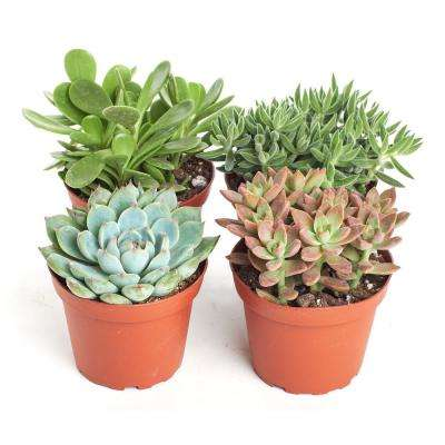 4 in. Assorted Succulent Collection Succulent (Collection of 4)