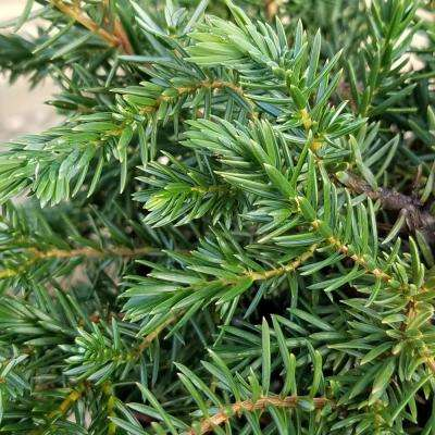 2.5 Qt. Blue Pacific Juniper - Evergreen Groundcover Plant