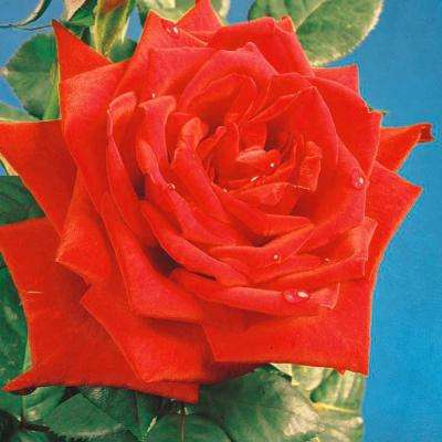 All Time Favorites Rose Red Masterpiece