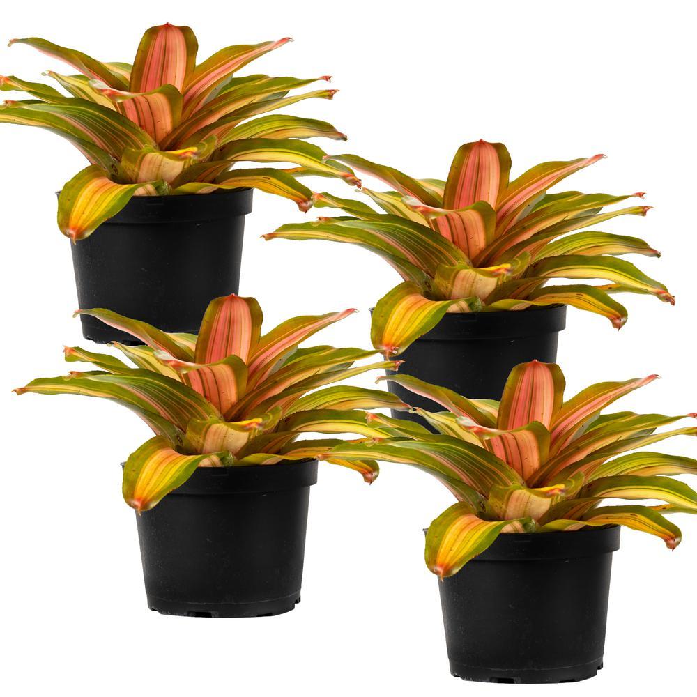 Fancy Bromeliad Neoregelia Live Plant in 8 in. Growers Pot (4-Pack)