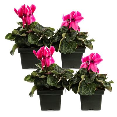 1.21-Pint Light Pink Cyclamen Latinia in 4 in. Pot (4-Pack)