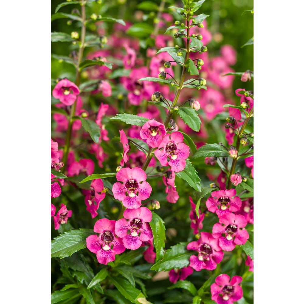 Proven Winners 4-Pack, 4.25 in. Grande Angelface Perfectly Pink Summer Snapdragon (Angelonia) Live Plant, Pink Flowers