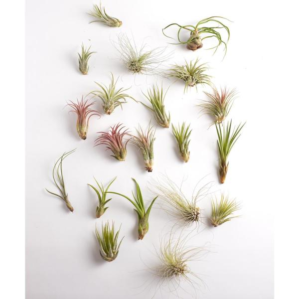 Assorted Air Plant (20-Pack)