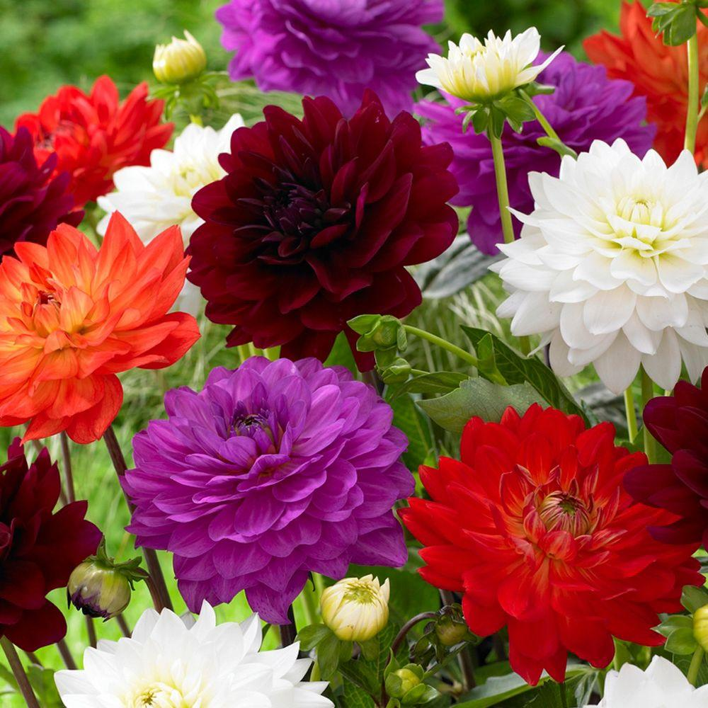 Bloomsz Karma Dahlia Bulbs Mixture 8 Pack 05981 The Home Depot
