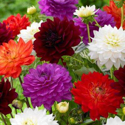 Karma Dahlia Bulbs Mixture (8-Pack)
