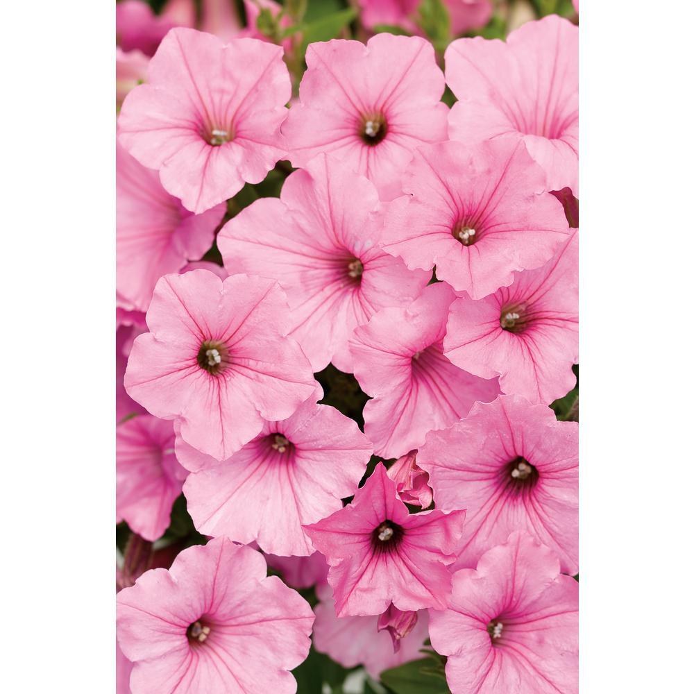 4.25 in. Supertunia Vista Bubblegum (Petunia) Live Plant, Bubblegum Pink Flowers Grande (4-Pack)