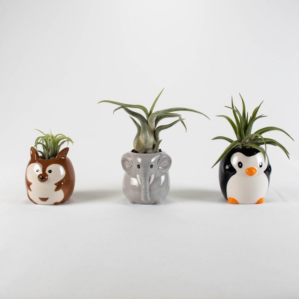 Air Plant Succulent Live (3 Tillandsias) - Safari Animals Ceramic Pot Set 2 (Penguin, Bear, Elephant) with Black Stones