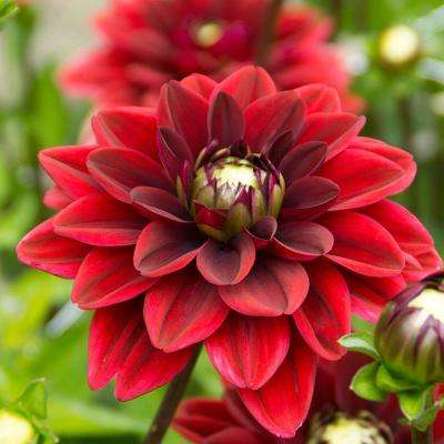 Arabian Magic Dahlia Bulbs (3-Pack)