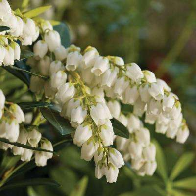 2.5 Qt. Mountain Snow Pieris, Evergreen Shrub, Clusters of Small Bell-shaped White Blooms