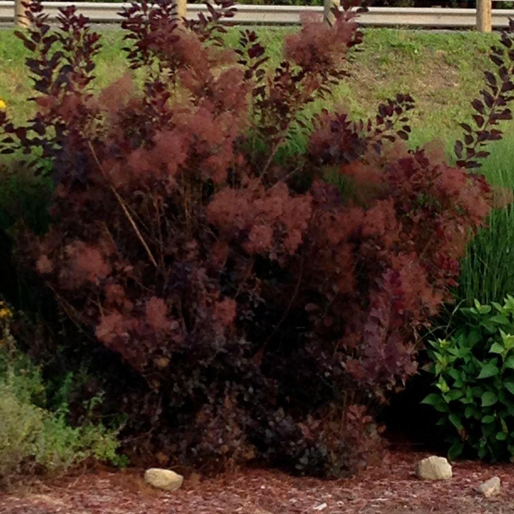 3 gal. Royal Purple Smokebush Shrub