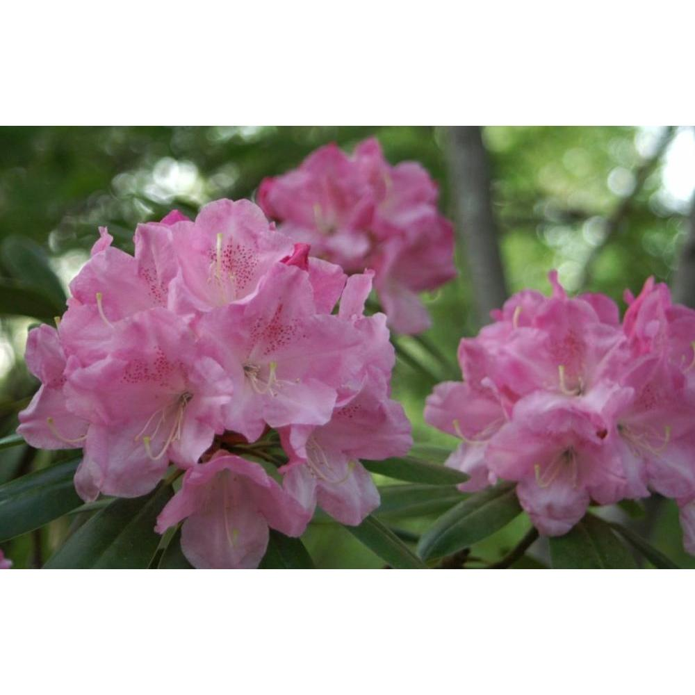 Rhododendron Shrubs Trees Bushes The Home Depot