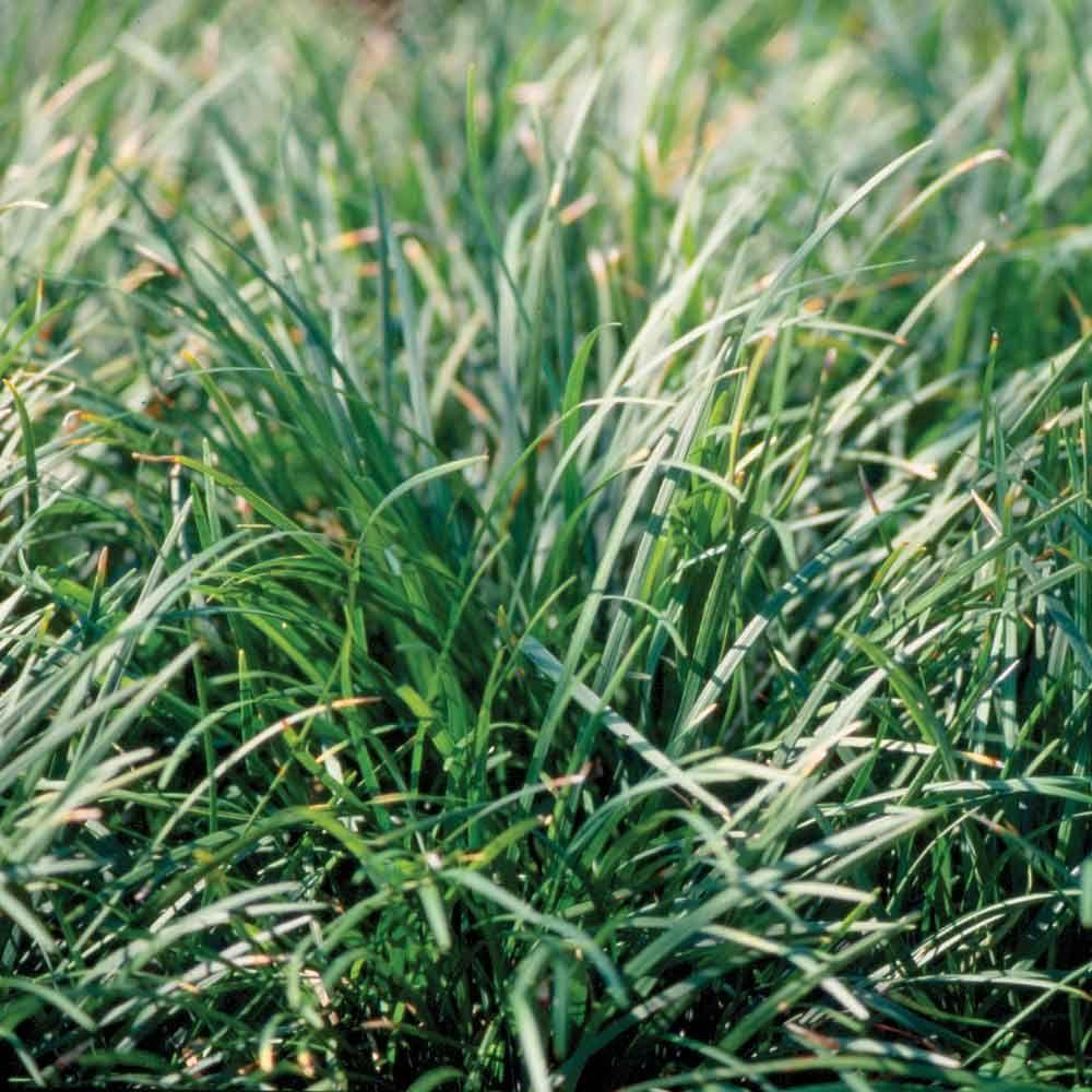 Mondo grass 3 1 4 in pots 54 pack groundcover plant for Tall grass plants