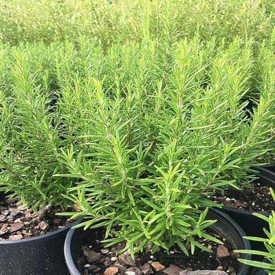 5.5 in. Barbecue Rosemary Culinary Herb Plant
