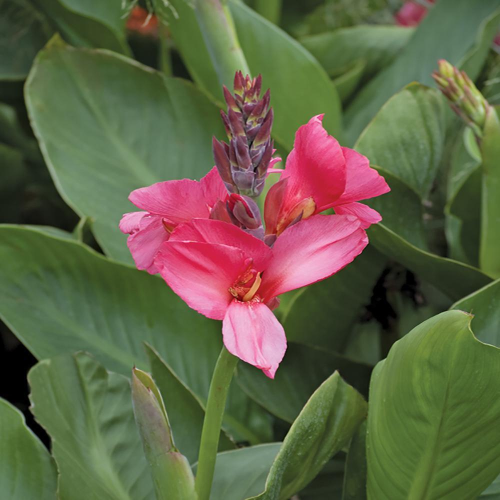 2.5 Qt. Cannova Rose Canna Lily Plant