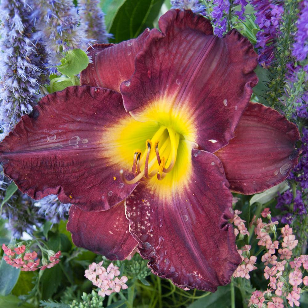 Midnight Raider Daylily (Hemerocallis) Live Bareroot Plant Red-Purple Flowering Perennial (1-Pack)
