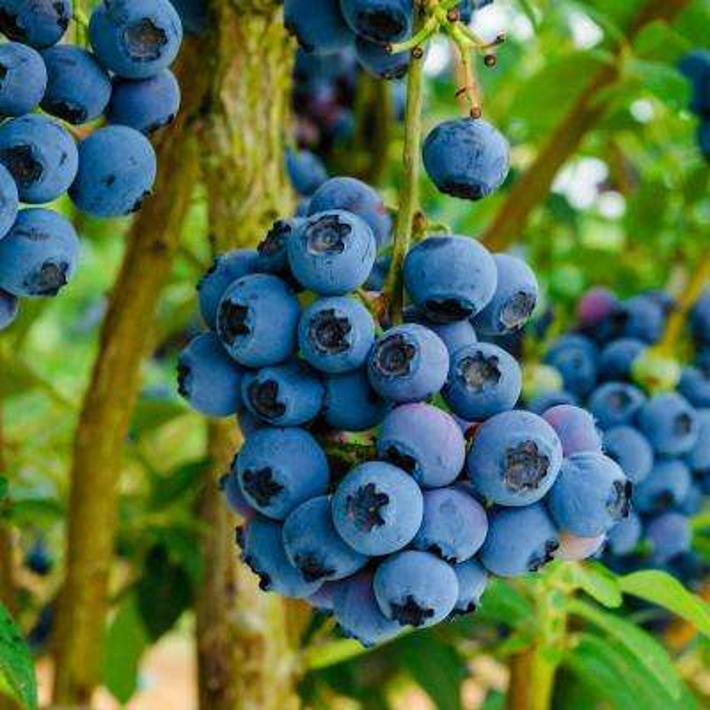 Reka Blueberry Vaccinium Live Bareroot Plant (1-Pack)