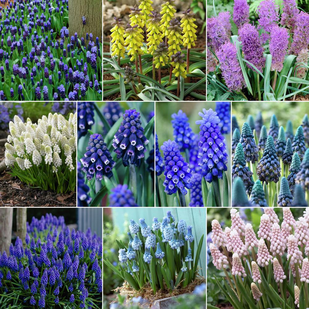 Van Zyverden Mixed Colors Fragrant Grape Hyacinths For