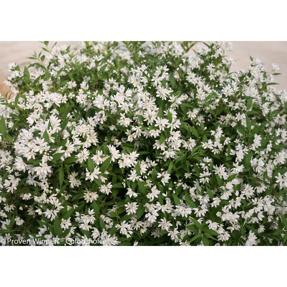 PROVEN WINNERS 4.5 in. Qt. Yuki Snowflake (Deutzia) Live Shrub, White Flowers