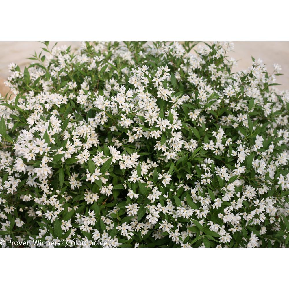 Proven winners 45 in qt yuki snowflake deutzia live shrub yuki snowflake deutzia live shrub white flowers deuprc1027800 the home depot mightylinksfo