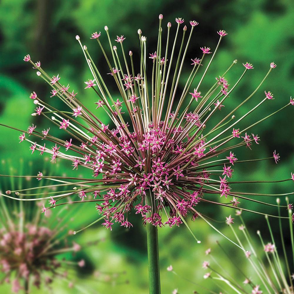 Schubertii Allium Bulbs (5-Pack)