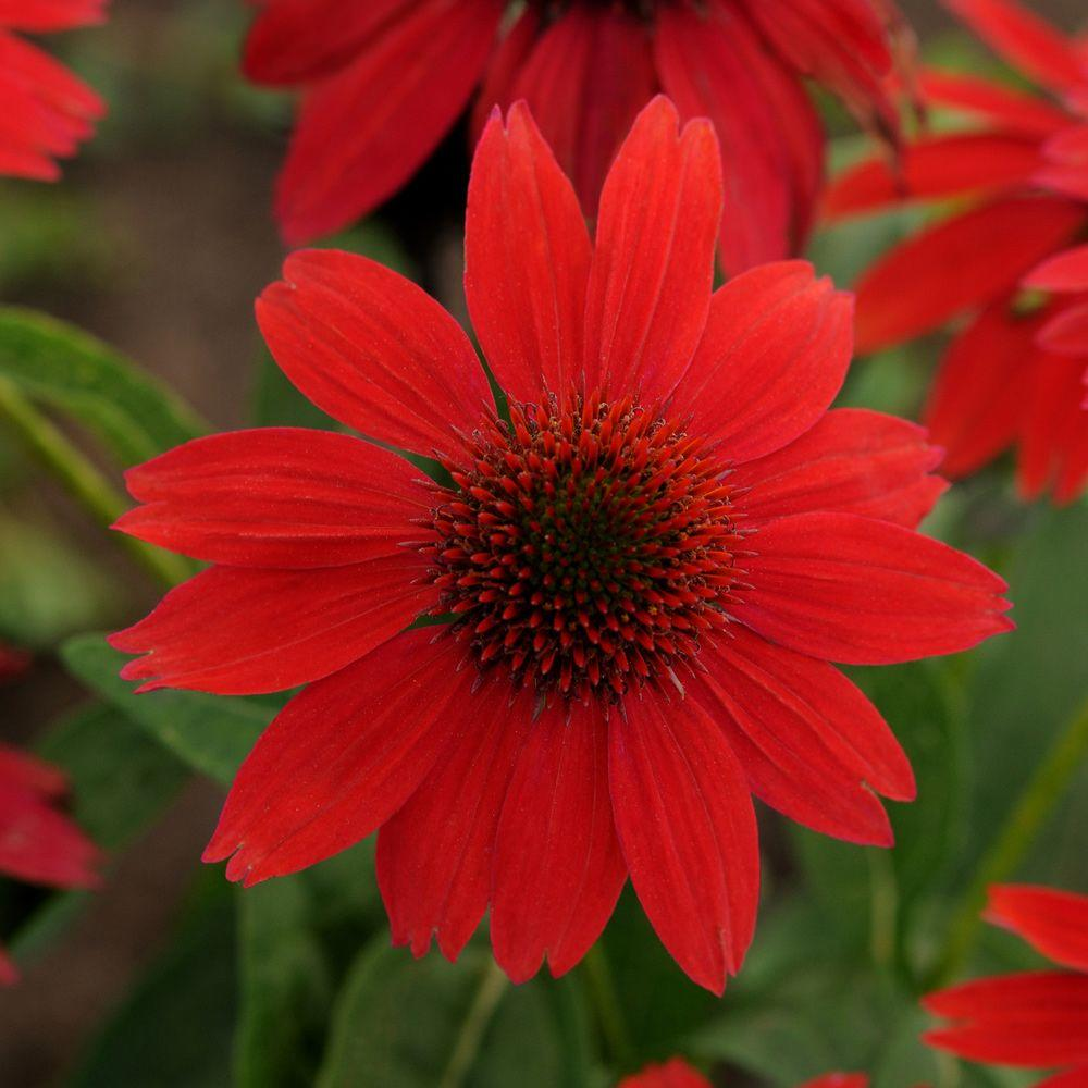 2.5 Qt. Sombrero Red Salsa Echinacea With Bright Red Blooms, Live