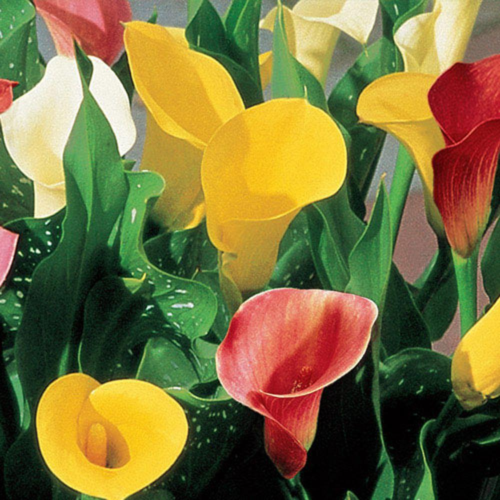 Breck's Calla Lily Mix Bulbs (3-Pack)