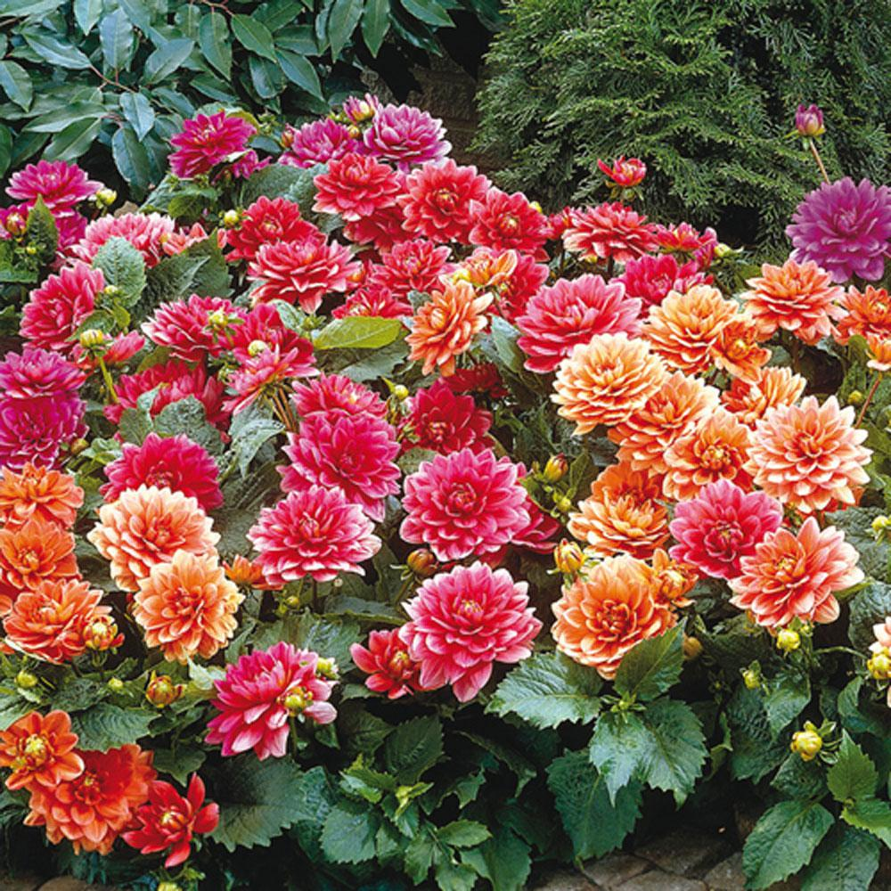 Border Dahlias Mixed Bulbs (5-Pack)