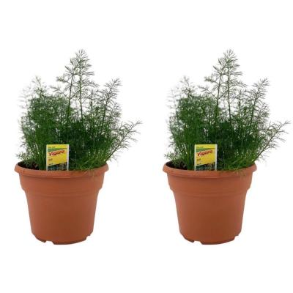 1.5 Qt. Herb Plant Dill in 6 In. Deco Pot (2-Plants)