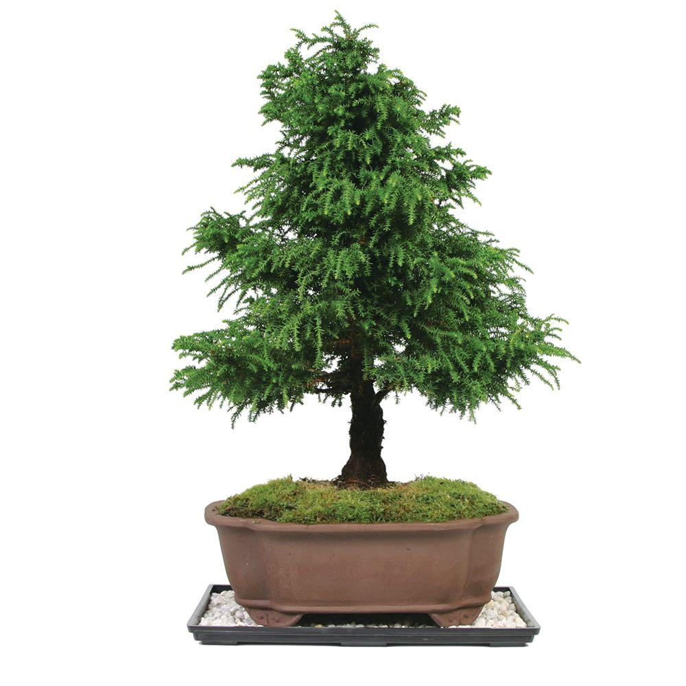 Brussel's Bonsai Dwarf Cryptomeria (Outdoor)-DISCONTINUED