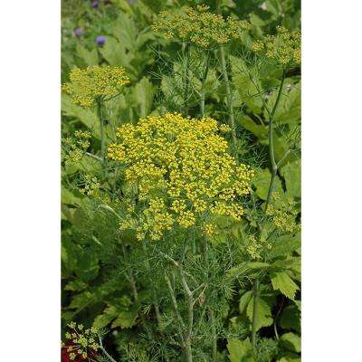 Hedger Dill, Live Plant, Herb, 4.25 in. Grande