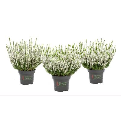 4 in. Calluna Heather Plant with White Blooms (3-Pack)