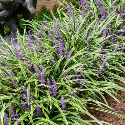 Variegated Liriope Live Bareroot Perennial Groundcover Plants Variegated Foliage (5-Pack)