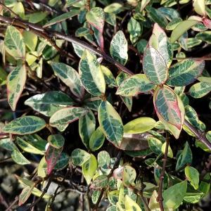 2 5 Qt Variegated Asiatic Jasmine Live Groundcover