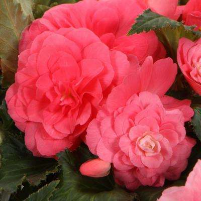 Proven Selecctions Nonstop Pink (Tuberous Begonia) Live Plant, Pink Flowers, 4.25 in. Grande