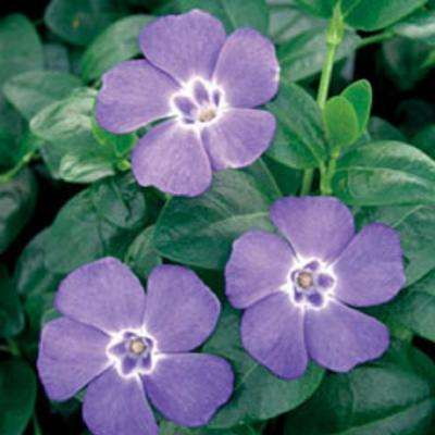 Vinca Minor 3-1/4 in. Pots (18-Pack) - Blooming Groundcover Plant