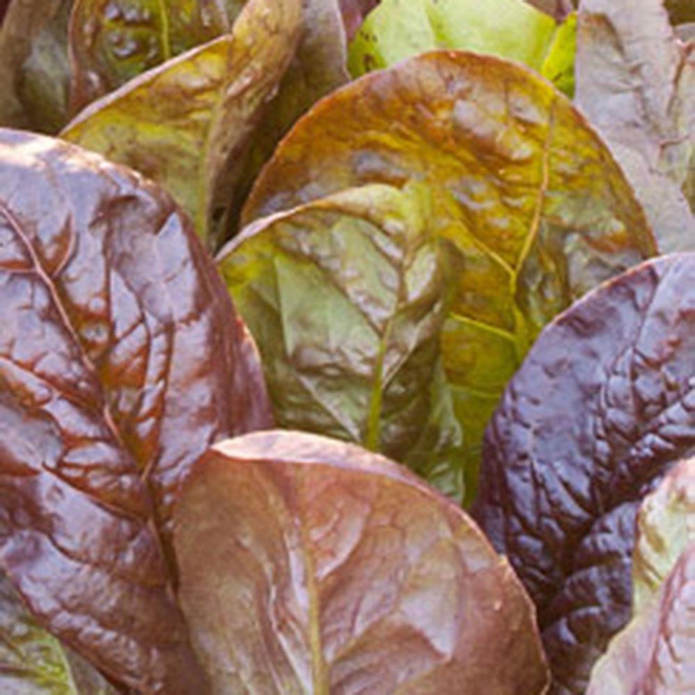 6PK Lettuce - Romaine Red