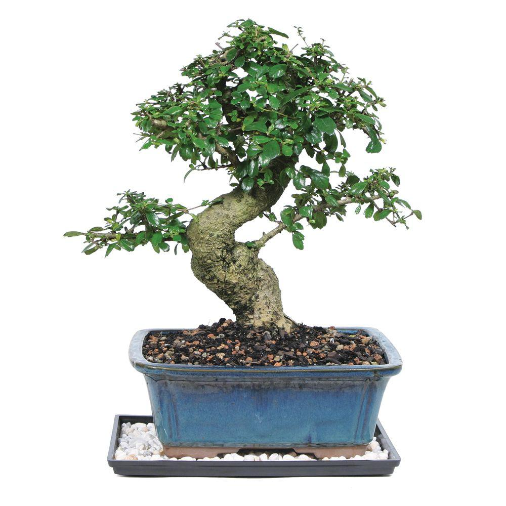 brussel 39 s bonsai fukien tea bonsai ct 9002ft the home depot. Black Bedroom Furniture Sets. Home Design Ideas