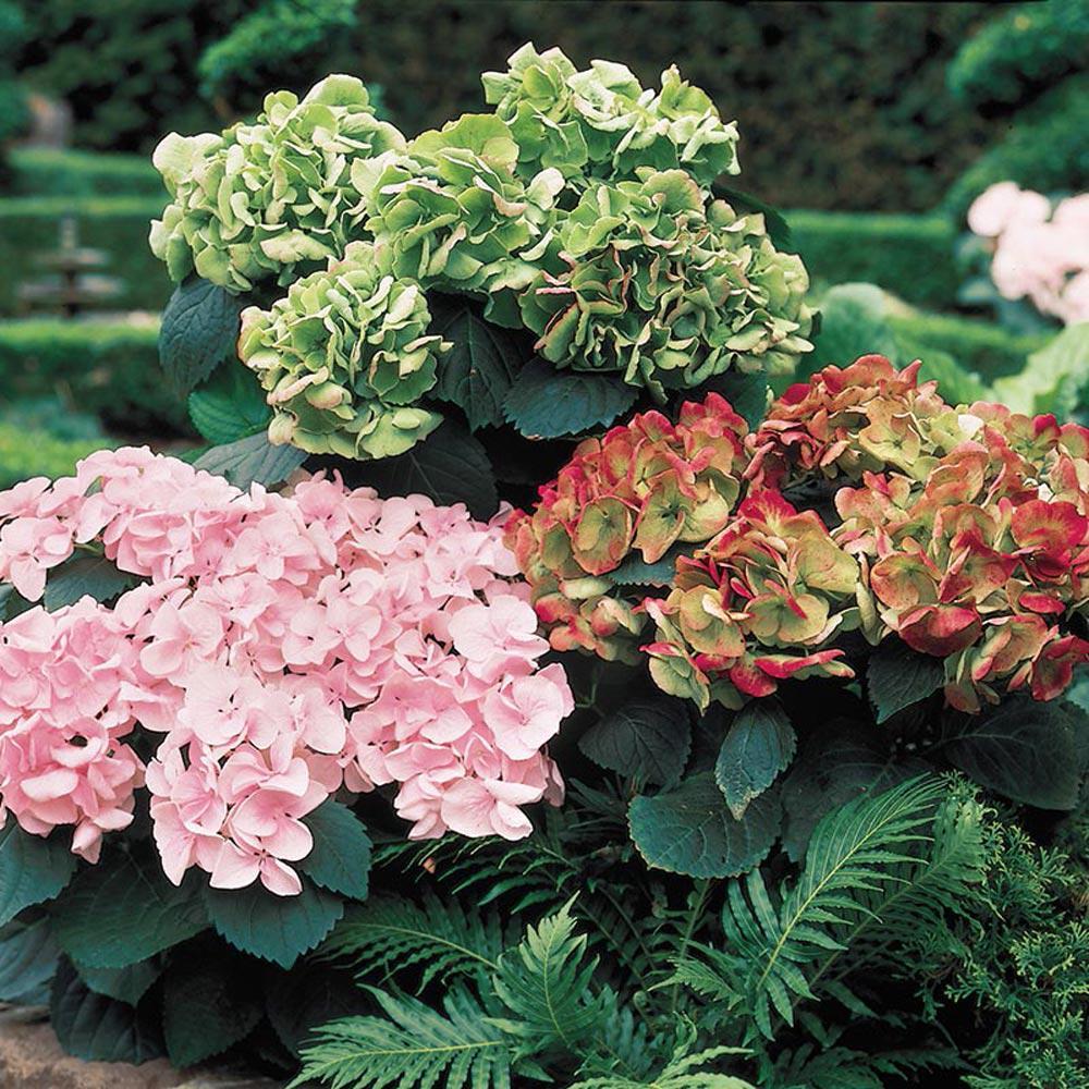 Kaleidoscope Hydrangea Potted Plant