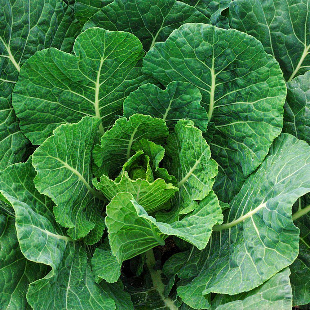 Gurney S Collards Tiger Hybrid 150 Seed Packet 65367 The Home