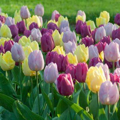 Tulip Prince Mix Bulbs (25-Pack)